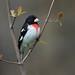 Cardinal à poitrine rose / Rose-breasted grosbeak