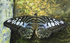 mothzra (ebsigma) Tags: parquedelasciencias granada animales mariposa falcon halcón comer parpado color azul butterfly comiendo flor naranja flower insecto palo stik mirada ojo larva pole buho españa