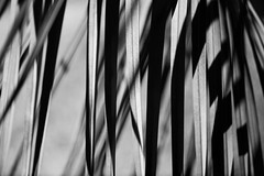 Black and White (setoboonhong ( On and Off )) Tags: nature outdoor fitzroy gardens melbourne palm leaves foliage bw shadow light depth field bokeh abstract song black white three dog night 1974
