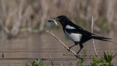 Fake kingfisher (keynowski) Tags: saksağan picapica eurasianmagpie nature ngc animalplanet animal bird canon70d canonef400mmf56lusm