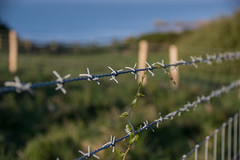 The Scout (Shastajak) Tags: bindweed fencefriday fence barbedwire wire fenceposts hastingscountrypark sea view seaview