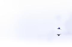 Oh, God, Thy Sea is So Great (Michael Bateman) Tags: amniota animalia ardeaherodias ardeidae aves avilalae bateman chordata eumaniraptora greatblueheron heronsbitterns michael neognathae neornithes pelecaniformes photography sauropsida teleostomi tetrapoda wildlife animals birds kinnelon newjersey unitedstates us 2