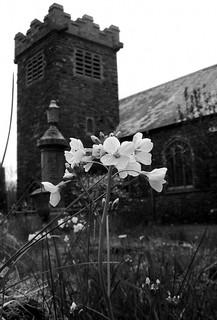Blodau llefrith, Eglwys yr Hollsaint, Gwynfe