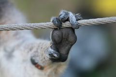 Patte d'un lémur catta (olivier.ghettem) Tags: bioparcvalencia valence valencia espagne spain lémurien lémurcatta lémuriens primate primates madagascar animal