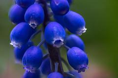 Traubenhyazinthe - Muskari (ralfkai41) Tags: traubenhyazinthe muscari nature flower blume outdoor natur garden plant macro focusstacking garten makro hyazinthe pflanze blossom blüte stacking