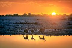 Kudu's sundowner at Okaukuejo Waterhole (Steven-ch) Tags: oshanaregion goldenhour safari sunset namibia water okaukuejoresort okaukuejowaterhole etosha etoshanationalpark travel africa sun kudu lake okaukuejo na