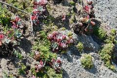 Dudleya farinosa (Sea Lettuce)