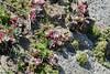 Dudleya farinosa (Sea Lettuce) (birdgal5) Tags: california sonomacounty bodegabay sonomacoastsb sonomacoaststatebeach bodegahead bodegaheadtrail nativeperennial crassulaceae sealettuce dudleya dudleyafarinosa nikon d4 nikond4 80400mmf4556gvr may 80400mmf4556gafsedvr inaturalistorg calphotos