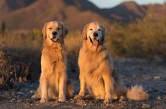Dempsy & Duffy (Tom_Morris Photos) Tags: golden sunset goldenretriever retriever dog scottsdale az mcdowellmountains arizona tommorrisphotos