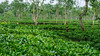Tea Garden. Sylhet. Bangladesh (R Rabi) Tags: bangladeshteagarden bangladesh teagarden sylhet srimongal