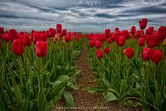 Red Tulips (Manuel Speksnijder) Tags: tulipfields fields tulpenvelden tulip holland noordholland sintmaartensvlotbrug rodetulpen tulpen tulp rood red tulips tulipfield tulpenveld nederland thenetherlands bloemen flowers