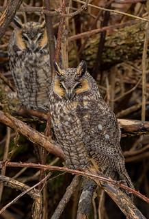 Long-eared Owls (Asio otus) - BC