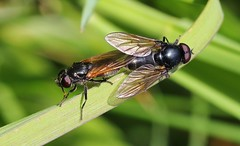 Fly - Cheilosia impressa 100517 (2) (Explored) (Richard Collier - Wildlife and Travel Photography) Tags: wildlife naturalhistory insects british britishinsect fly cheilosiaimpressa macro mating