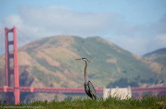 great blue heron (pandeesh89) Tags: sanfrancisco california unitedstates us blue heron crissy field marsh weekend walk birdwalk beauty golden gate bridge
