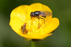 Butter Tasting (suekelly52) Tags: buttercup diptera fly yellow micromoth micropterix