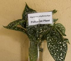 Polk dot plant