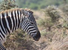 Through the Bush (The Spirit of the World) Tags: zebra animal wildlife nature portrait bush safari gamedrive nairobi kenya eastafrica africa nationalpark gamereserve
