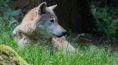 Grey Wolf - Loup gris (jymandu) Tags: loupgris