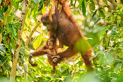 BOR_9621 (lucvanderbiest) Tags: orangoetang borneo maleisië sabah sepilok orangoetangrehabilitationcenter