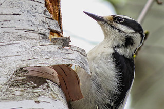 Pic chevelu / Hairy Woodpecker / Picoides villosus