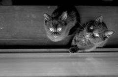 2017_135 (Chilanga Cement) Tags: fuji fujix100f xseries x100t x100f bw blackandwhite monochrome kitten kittens cat cats whiskers paws feline felines kitties