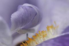 Douceur au coeur de l'iris (jjcordier) Tags: iris douceur pastel