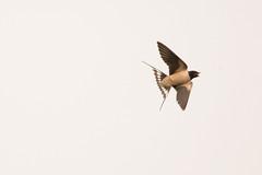 Swallow (Hirundo rustica) (Baldyal) Tags: swallow bird bif wildlife venus pool shropshire