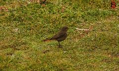 14 de mayo de 2017-RRR02872 (Tres-R) Tags: portodoson galicia españa es baroña tresr rodolforamallo ríasaltas sonyrx10iii airelibre animals animales pájaros birds