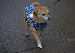The Walking Wet (swong95765) Tags: petite dog canine animal pet coat cutie wet rain