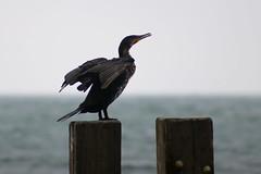 Cormorant (Crisp-13) Tags: cormorant groyne bird seaside coast wings stretched sea ventnor isle wight