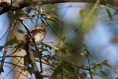 3432 (Condor Photography) Tags: bird hermit thrush