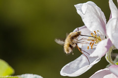 Bombylius major (markhortonphotography) Tags: bombyliusmajor deepcut surrey white macro blossom markhortonphotography nature flower surreyheath spring wildlife insect beefly thatmacroguy invertebrate