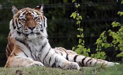 Siberische Tijger (CharmFocus) Tags: ilca77m2 a77ii safaripark beekse bergen animal dieren sigma70200 sigmatc20 70200tc2 siberische tijger panthera tigris altaica