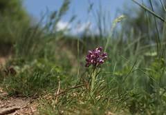 orchidée sauvage (bulbocode909) Tags: fleurs orchidéessauvages printemps nature herbes ciel vert bleu valais suisse
