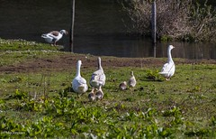 Take me to the water (Max Jongkoen) Tags: goose geese little kuikens ganzen