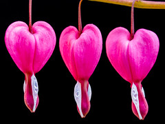 Three hearts in a row (Keith in Exeter) Tags: three heart row dicentra flower pink plant nature garden blackbackground outdoor macro closeup