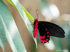 JM foto75-154 (janetankersmit) Tags: 2017 vlinders vlindertuin zutphen