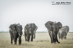 20160216-16-30-20_A014938 2000px (ajm057) Tags: 8takenusing africa africanelephantloxodontaafricana africanbushelephantloxodontaafricana amboselinationalpark andymillerphotolondonuk elephantidaeelephants kenya loxodonta mammal nikond4s proboscideaelephants reservesparks wildlifephotography kajiado ke african elephant