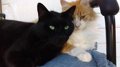 Looking (~ MCJ) Tags: midnight rescuecat black 8yo raphael gingerandwhite rescuecats 6yo bestforeverfriends