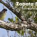 Zapata Wren, Ferminia cerverai