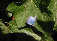 Small blue (menchuela) Tags: