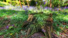 Stumped ..... (Einir Wyn Leigh) Tags: landscape woodland flowers tree forest green blue purple light sunlight outdoor outside blur nature wood natural wales uk cymru foliage rugged