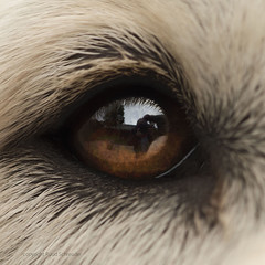 """Golden eye"" (Ruud.) Tags: ruudschreuder nikon nikond810 d810 105mm 105mmf28 macromondays mm hmm macro makro closeup eye eyes oog ogen hond dog golden retriever"