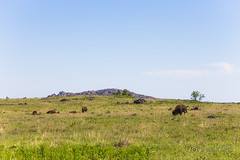 Bison (yosmama151) Tags: 2lofirefliesandfairytales7custom americanbison bison lawton oklahoma spring wichitamountains wichitamountainswildliferefuge