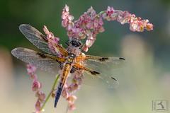 La libellule à quatre taches, Libellula quadrimaculata (stephanegachet) Tags: france bretagne morbihan finistère dragonfly dragonflie libellule macro stephanegachet gachet nature specanimal