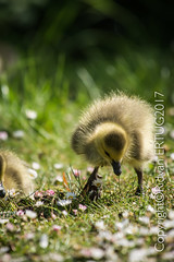 """Canada Goose gosling!  Taken at Nene Country Park. (I'll catch up with you later, your comments and cr) Tags: rertug nenecountrypark canadagoosegosling nikkor200500mmf56eafsed nikond610fx wildlifephotography birdphotography """"nikonflickraward"""""""
