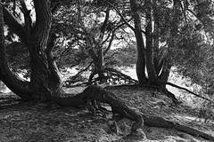 Hobbit territory ? (Mr.White@66) Tags: blackandwhite roots fujifilm fujifilmx100f biancoenero schwarzweiss noiretblanc holland thenetherlands lunaphoto