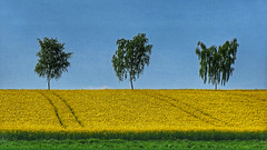 Springtastic (RainerSchuetz) Tags: spring rape rapeseed agriculture trees birch explore explored