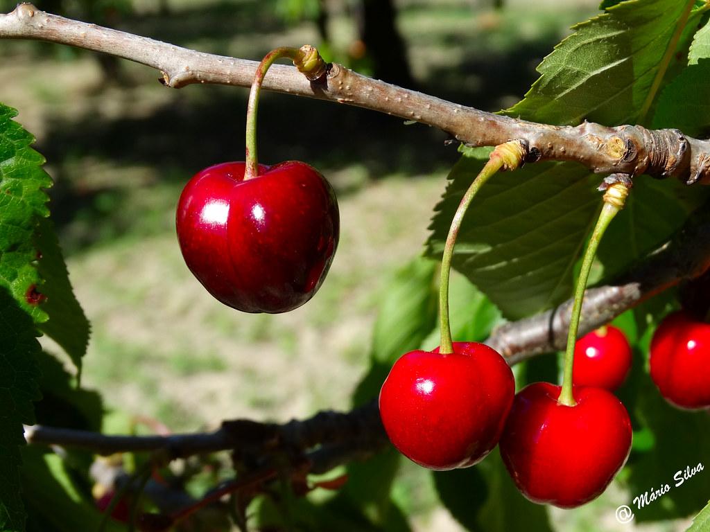 Águas Frias (Chaves) - ... cerejas na cerdeira ...