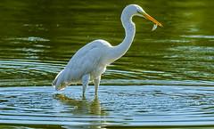 Great egret - catches a fish-2 (Bojan Žavcer) Tags: greategret fish ardeaalba canoneos7dmarkii ef600mmf4lisusm wildlife čaplja riba